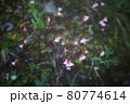 谷川岳登山の風景、高山植物 80774614