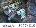 谷川岳登山の風景、高山植物 80774615