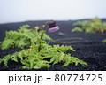 富士登山の風景、高山植物 80774725