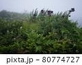 富士登山の風景、高山植物 80774727