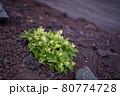 富士登山の風景、高山植物 80774728