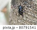 ノコギリカミキリ(埼玉県/8月) 80791541