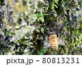 雨に濡れた苔にとまるミツバチ 80813231