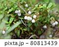 コケモモの花 80813439