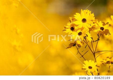 秋晴れの中で咲くヤナギバヒマワリ 80820189