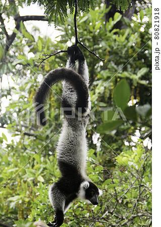 マダガスカルのレミュールアイランドのシロクロエリマキキツネザル(クロシロエリマキキツネザル) 80821918