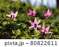 陽の光を透過する美しきカタクリの花【北海道 平取】 80822611
