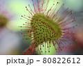湿原の隠れた主役 食虫植物モウセンゴケ【北海道 サロベツ湿原】 80822612