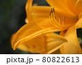 原生花園の王様 エゾカンゾウ【北海道 オロロン街道】 80822613