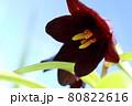 海抜0m地帯に咲くクロユリ【北海道 宗谷】 80822616