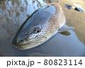 幻の魚 イトウのシンプル画像【北海道 天塩川】 80823114