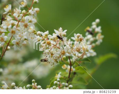 坊ガツルで見つけた胡麻木の小さな白い花 大分県竹田市久住町大字有氏 80823239