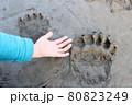 巨大なヒグマの足跡【北海道 中川町】 80823249