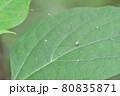 ザトウムシ(埼玉県/7月) 80835871