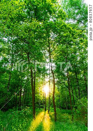 ドイツ 田舎町の森林と太陽の木漏れ日 80837657