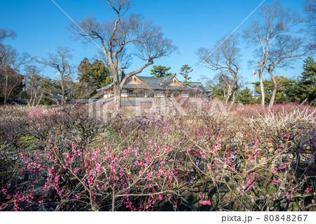 北野天満宮の春、梅苑の舞台から眺める満開の紅白梅と文道会館 80848267