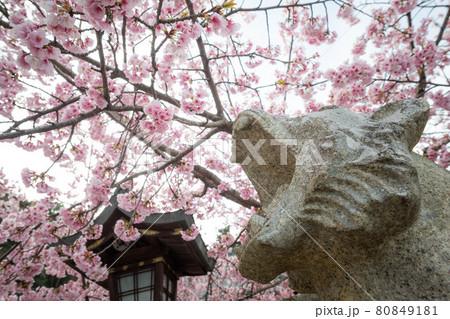 虚空蔵法輪寺の春、満開の寒桜に吠える阿形の虎 80849181