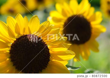 ひまわり畑ふんわりイメージ花アップ 夏背景写真素材 80872500