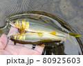 釣りたての天然鮎 80925603