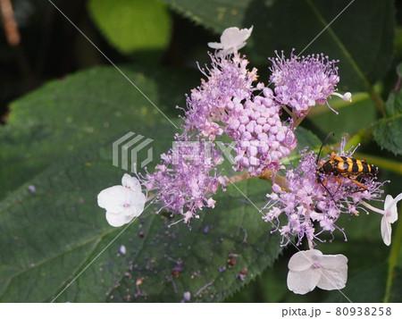 タマアジサイの花にきたヨツスジハナカミキリ 80938258