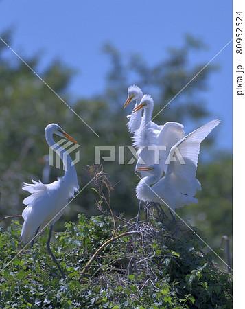 縦位置撮影の大きな翼を広げた白い鳥の親子 80952524