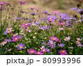 カラフルな姫小菊(ヒメコギク)の花 コピースペース有 80993996