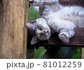 公園の見晴らし台の階段で休んでいる猫(サバトラ) 81012259