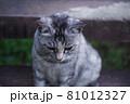 公園の階段で座っている猫(サバトラ) 81012327