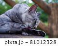 公園の階段で毛づくろいをしている猫(サバトラ) 81012328