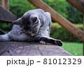 公園の階段で毛づくろいをしている猫(サバトラ) 81012329