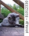 公園の階段で毛づくろいをしている猫(サバトラ) 81012330