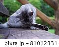 公園の階段で毛づくろいをしている猫(サバトラ) 81012331