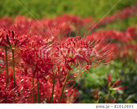 美しい彼岸花が咲く明日香村の田園風景 81012603