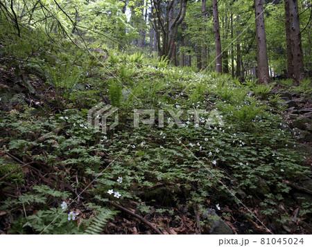 七ツ森の花 春、松倉山の斜面に咲くニリンソウ 81045024