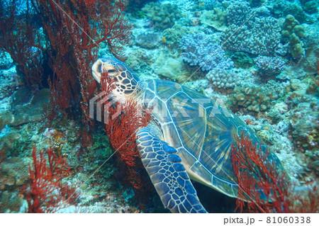 サンゴ礁でお昼寝タイムのウミガメくん 81060338