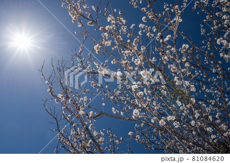 太陽の下の白梅の花花 81084620