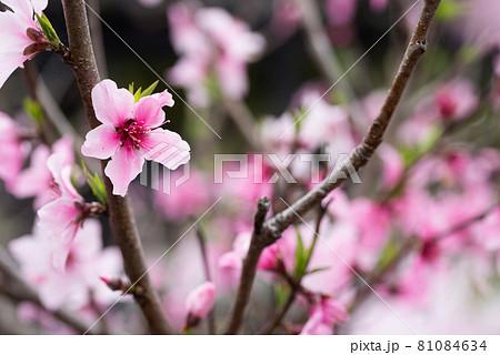 ピンクの桃の花花 81084634