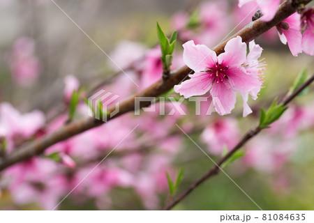 ピンクの桃の花花 81084635