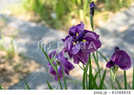 三重県亀山市 亀山公園しょうぶ園の紫の花しょうぶ 81088838