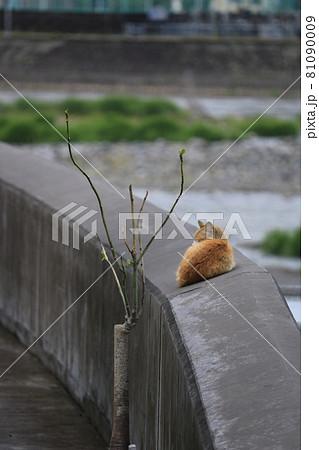 川の護岸壁の上でくつろいでいる猫 81090009