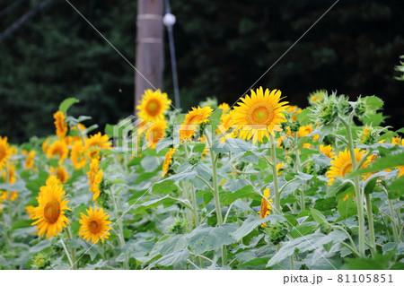 夏の日本の風物詩 ひまわり畑のひまわりたち 81105851