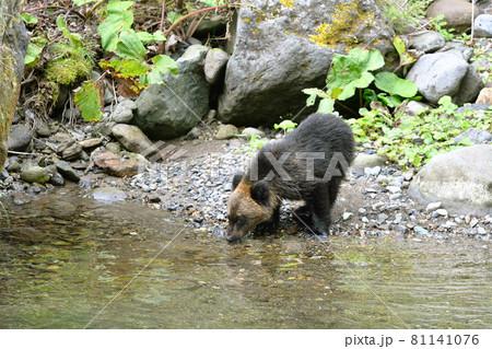 川で水を飲むヒグマの幼獣(北海道・知床) 81141076