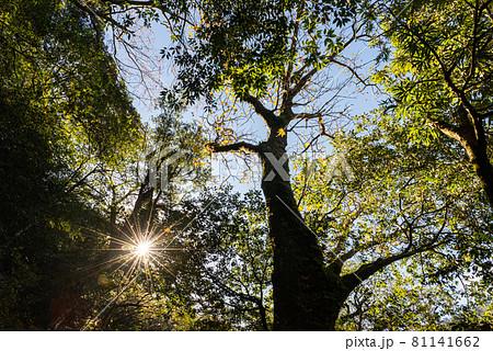 木漏れ日に映える紅葉。屋久島白谷雲水峡の森(12月) 81141662