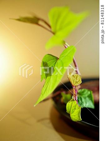 葉と影のだぶるはーと・さつまいも新緑 水耕栽培 81148318