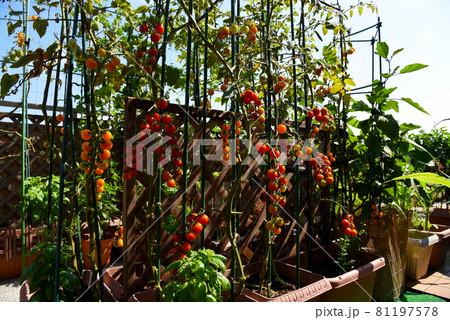 広いルーフバルコニーでミニトマト栽培、大成功で無農薬栽培で安心安全 自給自足・節約生活 81197578