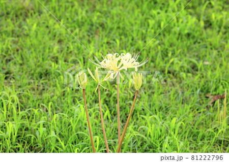馬見丘陵公園 満開のひまわりと夏の花々と早咲きの彼岸花 81222796