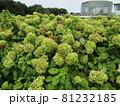 白い花から緑色に変わったアナベルの花 81232185