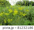 夏から咲き始める秋の七草オミナエシ 81232186