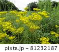 夏から咲き始める秋の七草オミナエシ 81232187