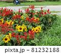 三陽メデアフラワーミュージアム前庭のヒマワリと赤いサルビア 81232188